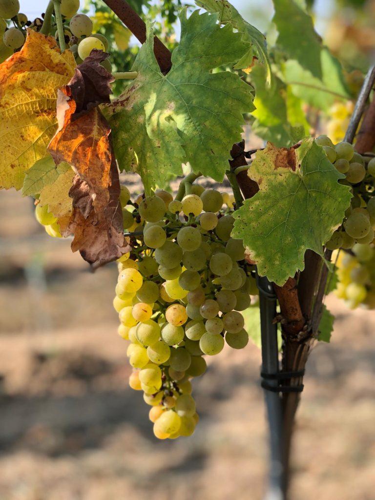 Plantation de vigne   Aanplant van wijnstokken