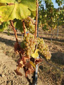 Wijngaard XXV